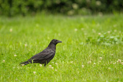 Carrion Crow & x28; Corvuscorone& x29; Arkivfoto