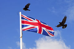 Carrion crows Corvus corone flying over fluttering Union Jack flag Royalty Free Stock Photos
