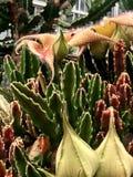 Carrion Flower Stapelia Blossom Fotografía de archivo libre de regalías