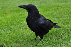 carrion wrona Fotografia Stock