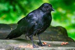 Carrion wrona, Dunfermline, Szkocja Zdjęcie Stock