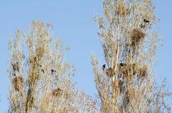 Carrion wrony gniazdeczka Zdjęcia Royalty Free