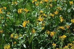 Carrizo Plains i fiori di giallo del monumento nazionale Immagine Stock Libera da Diritti