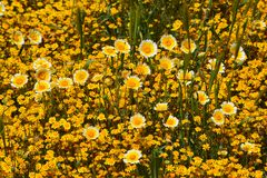 Carrizo Plains National Monument Super Bloom. 2017 Amazing colorful super bloom of wild flowers in the California Valley stock images