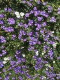 Carrizo raffine le monument national, fleur superbe de la Californie - Soda Springs Rd de fleurs photographie stock libre de droits