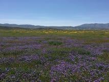 Carrizo raffine le monument national, fleur superbe de la Californie - Soda Springs Rd de fleurs photos libres de droits