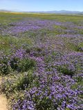 Carrizo Vlaktes Nationaal Monument, Californië - Hwy 58 de Super Bloei van Rd van de Sodalentes stock fotografie