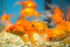 Carro armato acquatico dell'ornamento del pesce fotografia stock