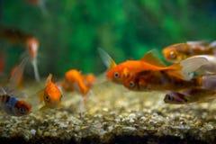 Carro armato acquatico dell'ornamento del pesce fotografie stock libere da diritti