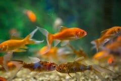 Carro armato acquatico dell'ornamento del pesce fotografie stock