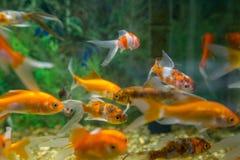 Carro armato acquatico dell'ornamento del pesce immagini stock