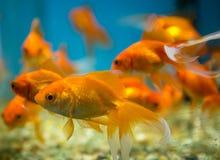 Carro armato acquatico dell'ornamento del pesce immagine stock libera da diritti
