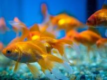 Carro armato acquatico dell'ornamento del pesce fotografia stock libera da diritti