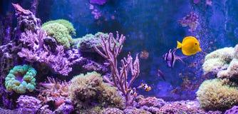 Carro armato della scogliera, acquario marino in pieno dei pesci e piante Carro armato riempito di acqua per la conservazione deg Immagine Stock