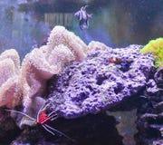 Carro armato della scogliera, acquario marino in pieno dei pesci e piante Carro armato riempito di acqua per la conservazione deg Fotografie Stock Libere da Diritti
