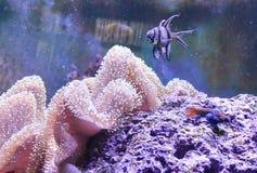 Carro armato della scogliera, acquario marino in pieno dei pesci e piante Carro armato riempito di acqua per la conservazione deg Immagini Stock Libere da Diritti