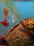 Carro armato di pesce Fotografia Stock Libera da Diritti