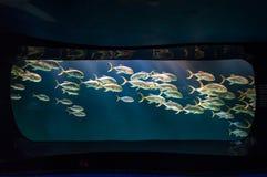 Carro armato di pesce Fotografie Stock