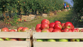 Carro completamente das maçãs Imagens de Stock