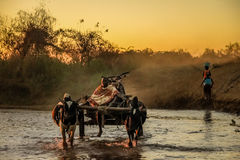Carro del cebú que cruza el río fotos de archivo libres de regalías