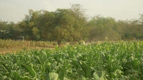 Carro do boi, campo de cigarro, cigarro, carro da vaca, carro de boi filme