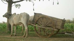 Carro do boi, campo de cigarro, cigarro, carro da vaca, carro de boi vídeos de arquivo