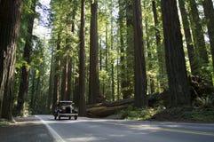 Carro do vintage em Redwoods de Califórnia Imagens de Stock Royalty Free