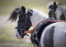 Carro que conduce caballos miniatura americanos imagen de archivo