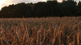 Carro tirado a lo largo del campo de trigo en la hora mágica de la puesta del sol - lente larga almacen de metraje de vídeo