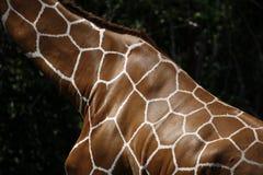 Carrocería de la jirafa   Imagen de archivo