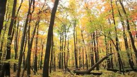 Carros de la cámara a través del bosque colorido de un otoño almacen de video