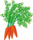 Carrot. Fresh red carrot with haulm Royalty Free Stock Image