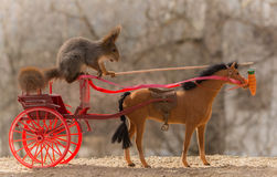 Carrot atraction. Close up of red squirrel driving a horse carriage Stock Photography