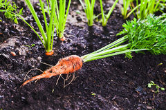 Carrot on bed Royalty Free Stock Photography