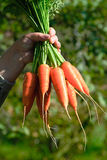 Carrot bunches Royalty Free Stock Photo