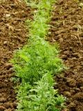 Carrot Stock Photo