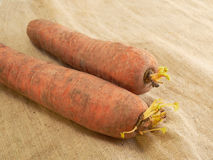 Carrot on a coarse tissue background. Two carrots lying on a fabric background Royalty Free Stock Photography