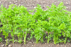 Carrot crop Royalty Free Stock Images
