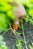 Carrot Daucus carota L. Stock Image