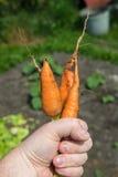Carrot Daucus carota L. Stock Photos