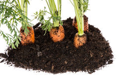 Carrot in earth isolated on white Stock Photos