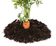 Carrot in earth isolated on white Royalty Free Stock Image