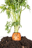 Carrot in earth isolated on white Stock Photo