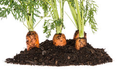 Carrot in earth  on white Royalty Free Stock Photos