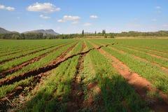 Carrot Farm Royalty Free Stock Photos