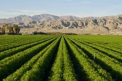 Carrot Farm in the Desert. Carrot field in Indio Californian Desert in November royalty free stock photo