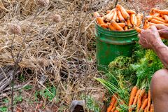 Free Carrot Farm Land Spring Harvest Preparation For Market Sale. Local Farming Business. Farmer Sits And Strips Leaves. Stock Image - 173385101
