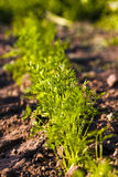 Carrot field Royalty Free Stock Photography