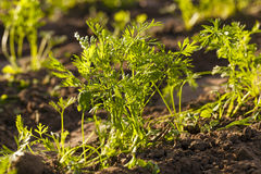 Carrot field Royalty Free Stock Images