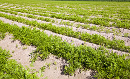 Carrot field Stock Photography
